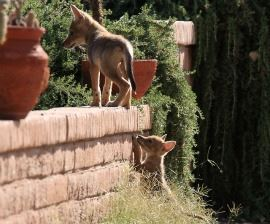 Coyotes on a Ledge