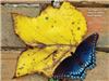Blue butterfly on yellow leaf