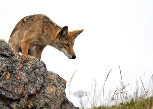 Coyote Looking Down From a Rock