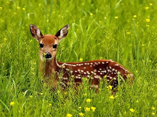 Deer in Tall Grass