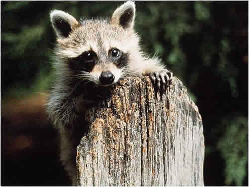 Raccoon on a Stump