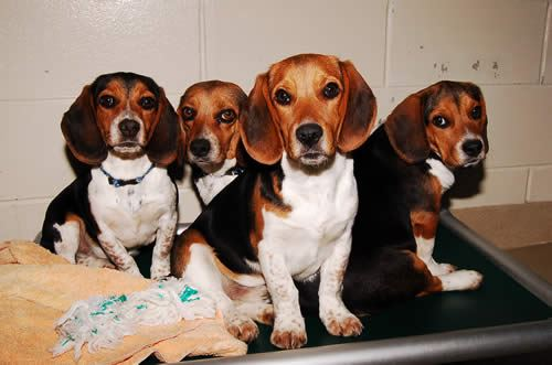 Four Beagles Sitting Together